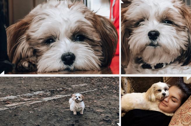 """Shih-Tzu-Mix Namens """"Luna"""" Portrait und Foto mit Bloggerin"""